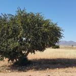 L'huile d'argan: des vertus incomparables pour votre beauté!